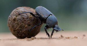Vlastnosti a životný štýl chrobáka, čo rád konzumuje