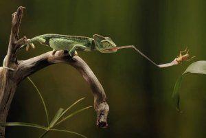 Характеристики на езика на хамелеона: дължина и предназначение