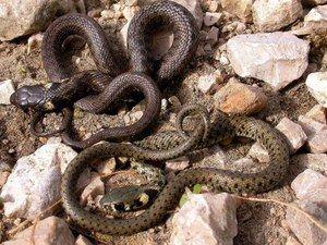 Popis hada už je