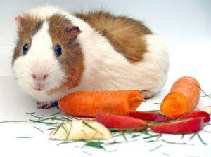 Характеристики на храненето на морските свинчета у дома