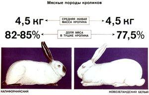Vlastnosti chovu mäsových králikov