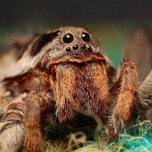 Характеристики на съдържанието на тарантулата у дома