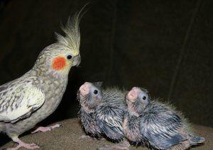Характеристики на грижите и храненето на пилетата corelli у дома