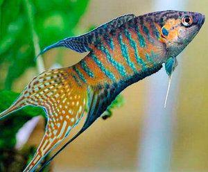 Характеристики на поддръжката и грижата за рибните макроподи