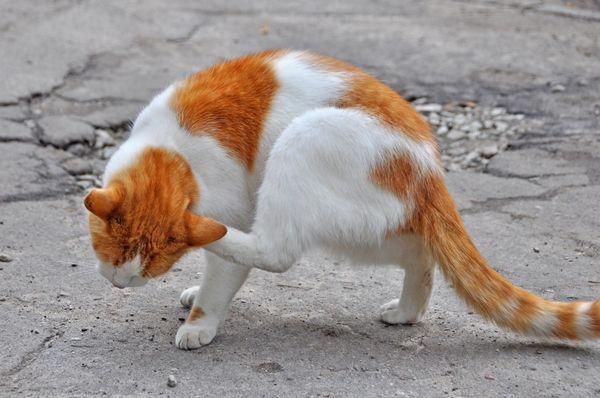 Blchy v mačke - ako odstrániť doma