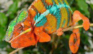 Пантера хамелеон: външен вид, разпространение, поддръжка и грижи