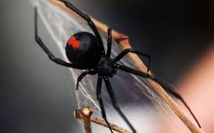 Pavúk čierna vdova je jedovatý predátor