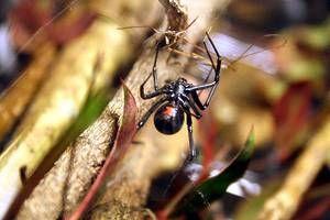 Kde žije pavúk čierna vdova?