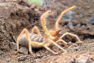 Phalanx spider - `veterný škorpión`, hmyz, obyvateľ teplých krajín