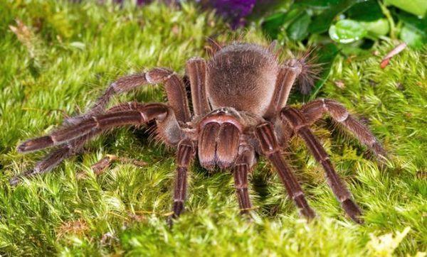 Pavúk goliáš