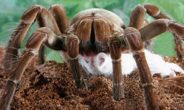 Spider goliáš je