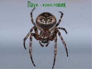 Kríž pavúka: všeobecné charakteristiky, typy križiakov
