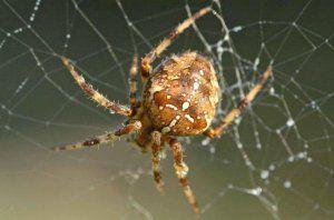Pavúk pavučina: ako vyzerá, kde žije, čo žerie