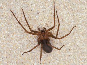 Отшелник паяк: описание, структурни характеристики, местообитание, снимка