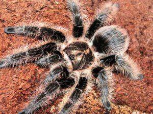 Tarantula spider brachipelma albopilosum: popis, údržba, starostlivosť