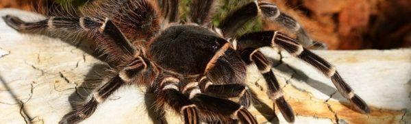 Tarantula spider: popis, odrody, údržba a starostlivosť doma