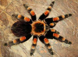 Pavúk tarantula doma