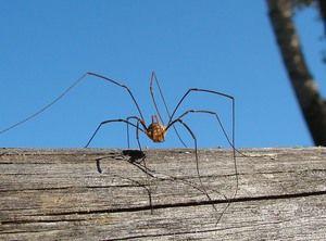 Pavúk haymaker: popis pavúka s dlhými nohami