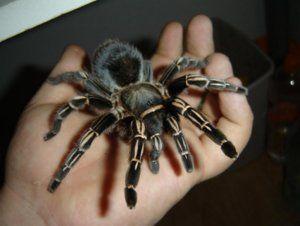 Pavúky domácich zvierat: vlastnosti a bezpečnostné opatrenia