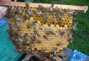 Ягодни пчели: характеристики на породата и особености на пчелите