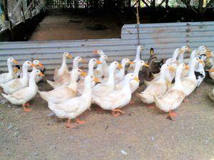Пекінська качка: розведення в домашніх умовах