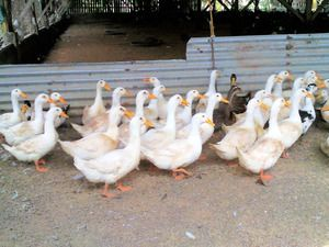 Pekinská kačica: chov doma