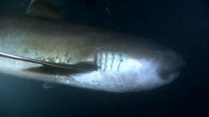 Žralok pelagický sa vyskytuje na celom svete