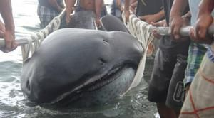 Pelagický žralok veľký