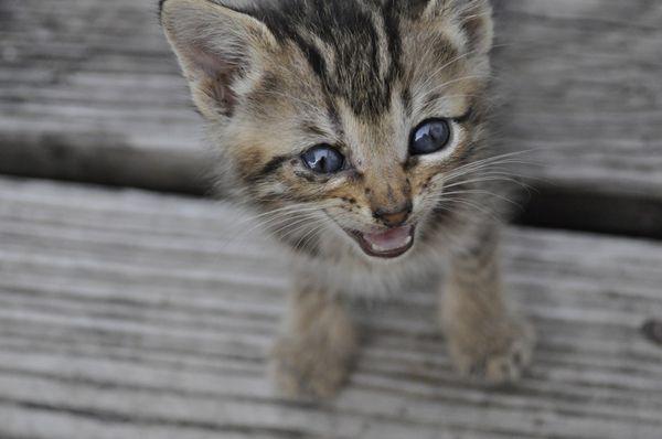 Atónia čreva u mačky