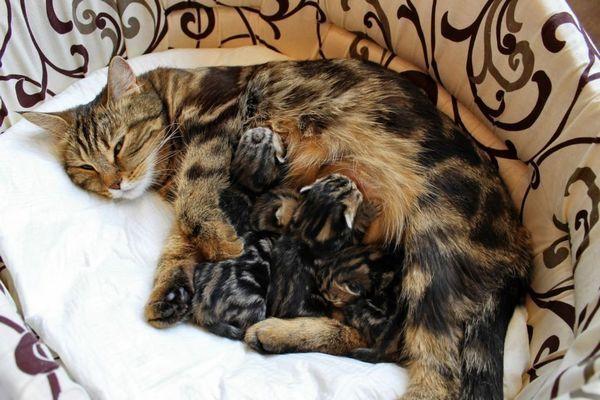 Prečo mačka krváca po pôrode a iných komplikáciách?