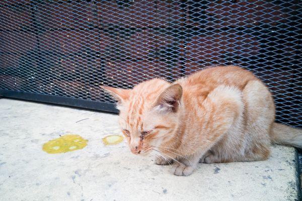 Mačka zvracia žlč