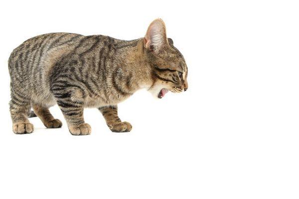 Čo robiť, ak mačiatko po jedle zvracia?