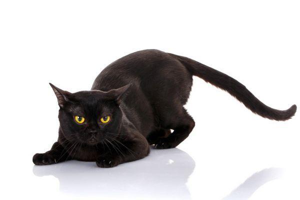 Vírusová peritonitída u mačiek