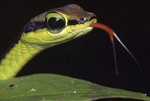 Защо змията има раздвоен език?