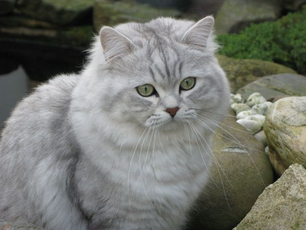 Podrobný popis britskej mačky longhair alebo highlander