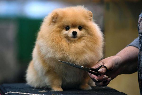 Доглядати за цією собакою потрібно багато