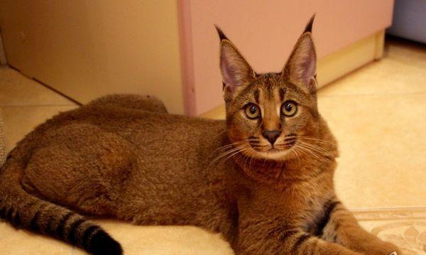 Каракатна порода котка