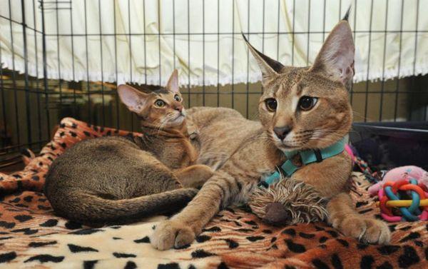 Смес от каракал и домашна котка наследи див цвят на естествена козина