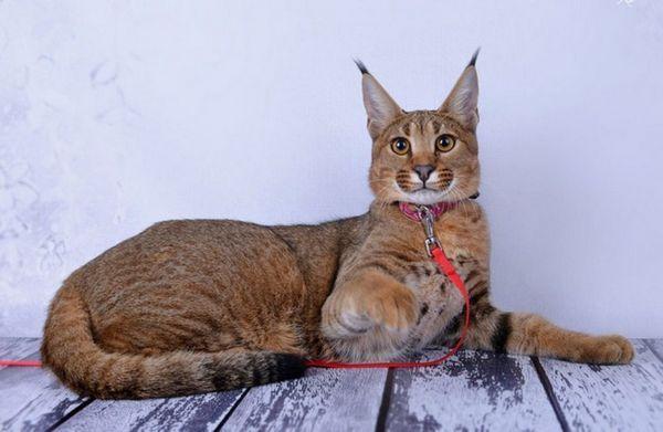 Тези котки наследиха добро здраве и добър имунитет от прародителя на Каракала.