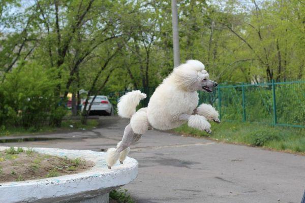 Собака з високим інтелектом здатна швидко засвоювати основну програму