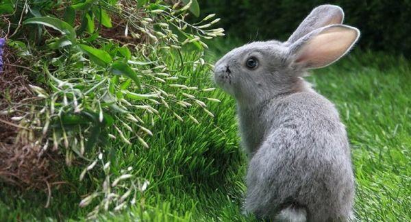 Корисна трава для декоративних кроликів