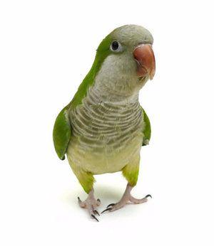 Монашки папагали: как изглеждат, колко години живеят, какво да хранят и как да се грижат у дома