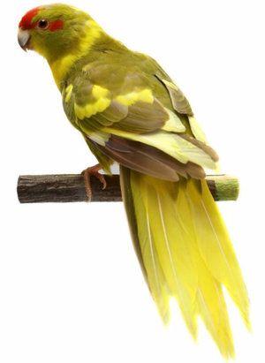 Папагал какарик: как изглежда, колко живеят, как да се хранят, как да се грижат