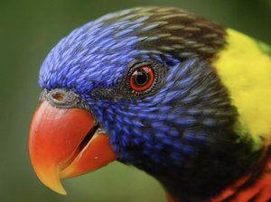 Лори папагал: как изглежда, колко живее, какво да храни, как да се грижи