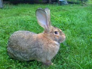 Порода бельгійський фландр: правила догляду і розведення кроликів