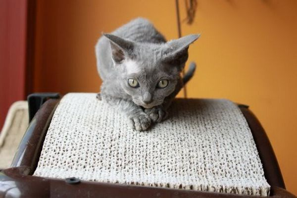 Минска порода котка