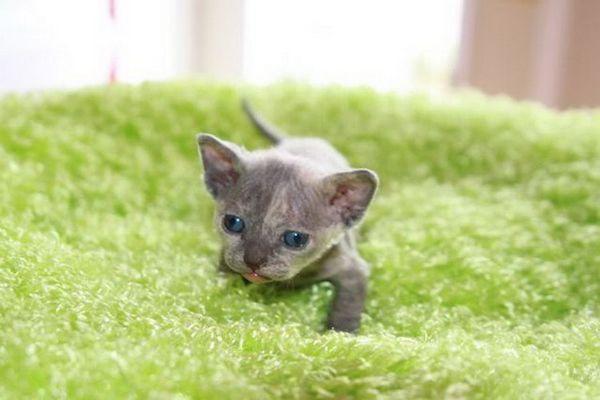 Минско порода коте