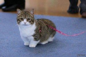Котки с къси крака