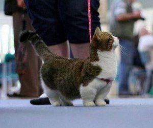 Характеристика на котки с къси крака