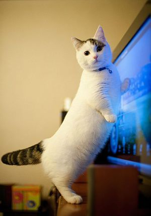 Какви породи котки с къси крака